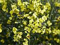 Brassica oleracea-IMG 9272.jpg