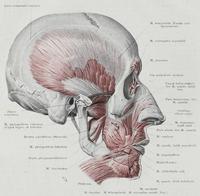 Los cartílagos nasales son importantes para definir la forma de la nariz.