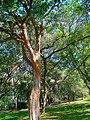 Brazilwoodriobotanicgarden.jpg