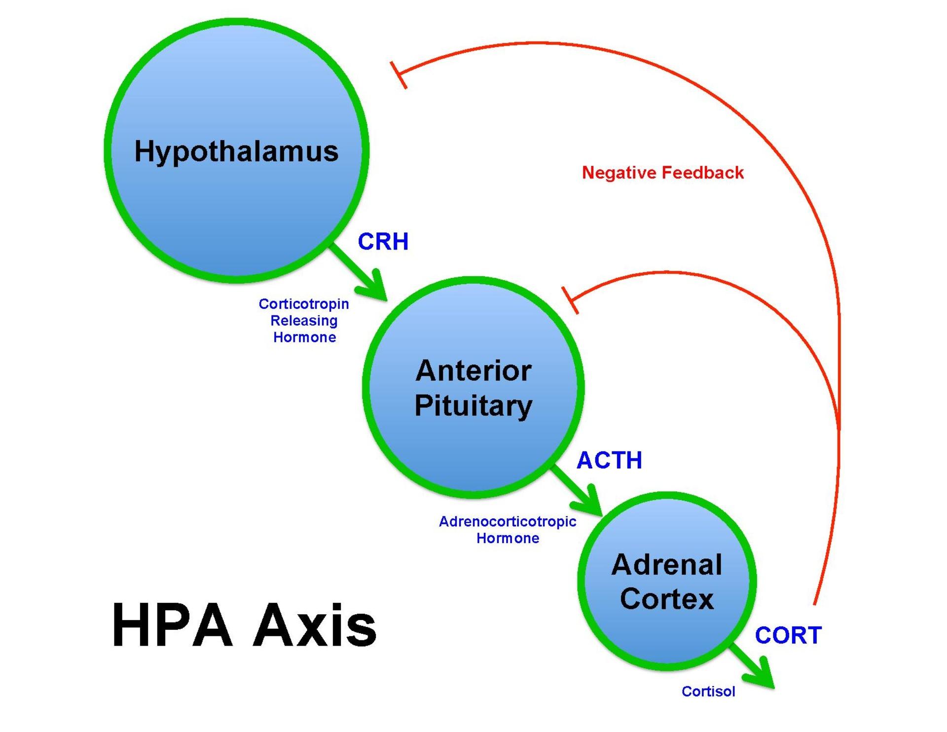 page1-1920px-Brian_M_Sweis_HPA_Axis_Diagram_2012.pdf.jpg