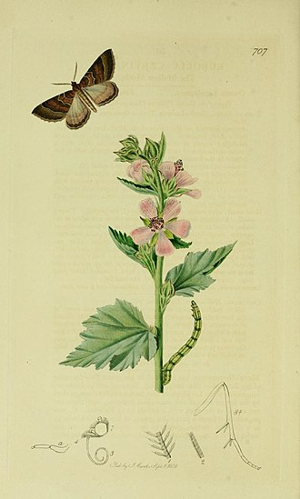 Larentia clavaria - Illustration from John Curtis's British Entomology Volume 6