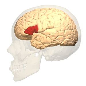 Broca's area - Broca's area (shown in red)