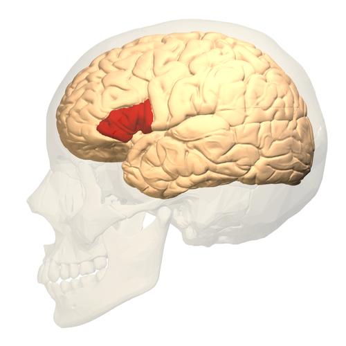 BROCA's area, in red