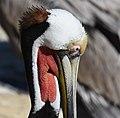 Brown Pelican (40078283484).jpg