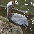 Brown Pelican Pelecanus occidentalis National Aviary 2000px.jpg