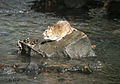 Brown Rat in mid-stream.jpg