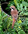 Brown Shrike I2 IMG 2337.jpg