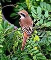 Brown Shrike I2 IMG 2337.jpg
