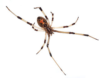 Latrodectus geometricus - Orange hourglass marking on the belly of a brown widow