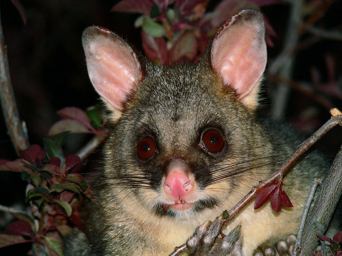 common brushtail possum in new zealand