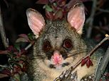 Brush tail possum 4-colour corr.jpg