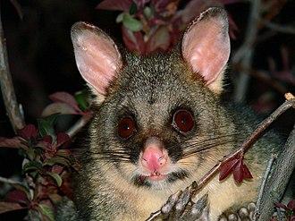 Common brushtail possum in New Zealand - Common brushtail possum