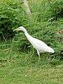 Bubulcus ibis 0240.JPG