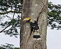 Buceros bicornis -Singapore-8.jpg
