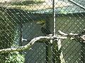 Buceros bicornis in Burgers' Zoo (Park) (2).JPG