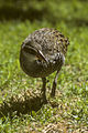 Buff-banded Rail - Heron Is - AustraliaImage47 (15557782532).jpg