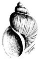 Bulinus tropicus shell 7.png