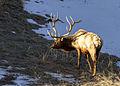 Bull elk near Phantom Lake (26346970076).jpg