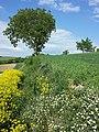 Bunias orientalis + Adonis aestivalis + Anthemis austriaca + Fumaria officinalis + Consolida regalis sl3.jpg