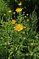 Buphthalmum salicifolium kz03.jpg