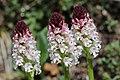 Burnt-tip Orchid - Neotinea ustulata (17288920546).jpg