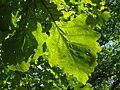 Burr Oak (Quercus macrocarpa) 9190055.jpg