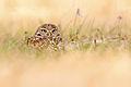 Burrowing-owl.jpg