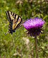 Butterfly on Thistle (3679144165).jpg