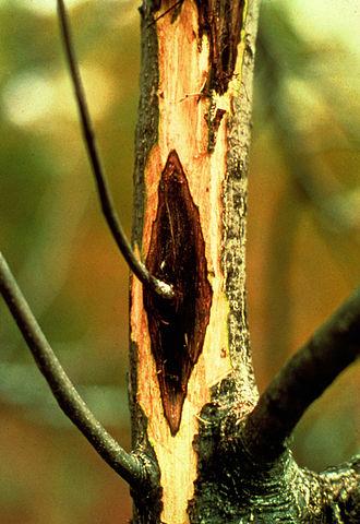 Ophiognomonia clavigignenti-juglandacearum - Butternut canker on a stem