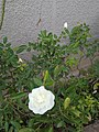 Button rose white.jpg