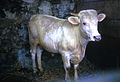 CSIRO ScienceImage 2304 A Young Charolais Bull.jpg