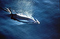 CSIRO ScienceImage 3012 Dolphin.jpg