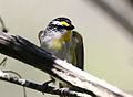 CSIRO ScienceImage 3554 Striated Pardalote Jamieson Victoria.jpg