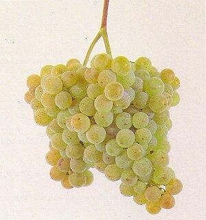 Albariño - Bunch of Albariño grapes