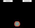 Cadena de eventos que conducirán a la supresión o activación del desarrollo del disco imaginal bajo la disponibilidad o ausencia de alimento. Basada en los experimentos de Truman y colaboradores (2006)..png
