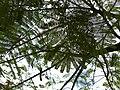 Caesalpinioideae - Johannisbrotgewächs - Oasis Park - Fuerteventura - 3.jpg