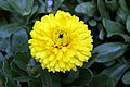 Calendula officinalis Bon Bon Mix 1zz.jpg