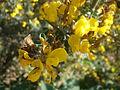 Calicotome villosa 3c.JPG