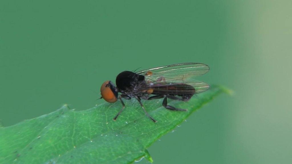 Filecallomyia Amoena  20130725webm  Wikimedia Commons