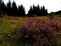 Calluna vulgaris IMG 6904^.jpg
