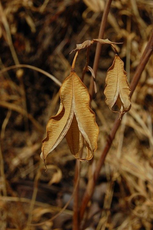 500px calochortus albus 10