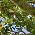 Calocitta formosa, Ometepe Island, Nicaragua 2017-03-17 (34191096115).jpg