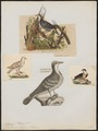 Caloenas cruenta - 1700-1880 - Print - Iconographia Zoologica - Special Collections University of Amsterdam - UBA01 IZ15600297.tif
