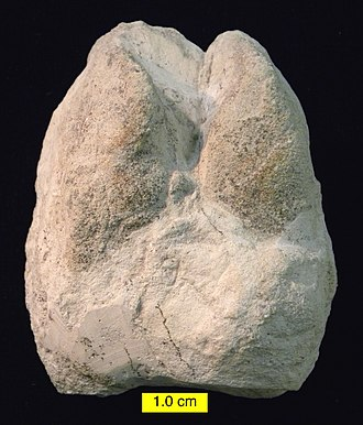 Miocene - Cameloid footprint (Lamaichnum alfi Sarjeant and Reynolds, 1999; convex hyporelief) from the Barstow Formation (Miocene) of Rainbow Basin, California.