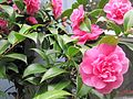 Camellia in bright pink.JPG