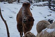 Camelus bactrianus in Zurich Zoo 4.jpg