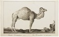 Camelus dromedarius - 1700-1880 - Print - Iconographia Zoologica - Special Collections University of Amsterdam - UBA01 IZ21600047.tif