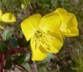 Camissonia brevipes 1.jpg