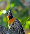 Campo Flicker (Colaptes campestris) male (31742803976).jpg