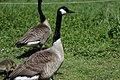 Canada goose - Branta canadensis (41257766614).jpg